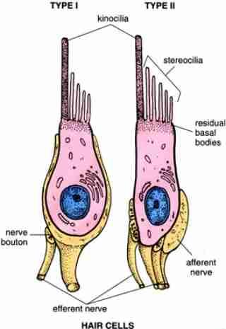 Inner Ear Kinocilia