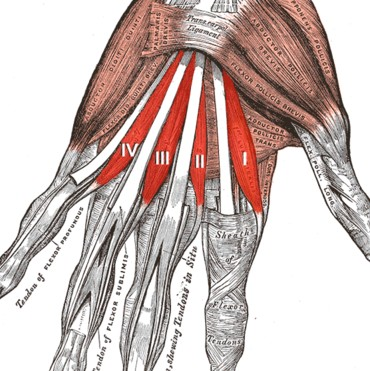Lumbrical muscles