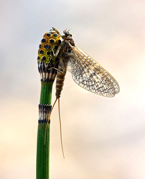  Mayfly, considering what it will do